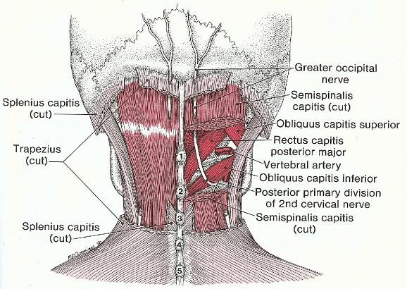 Occipital-nerve